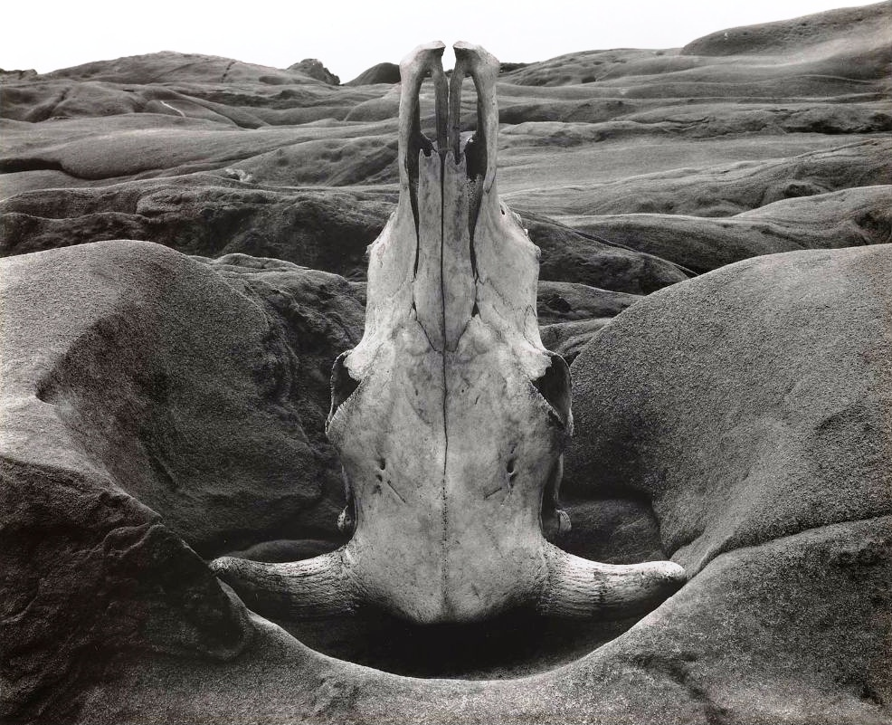 Edward Weston, Skull and Roc Aarrangement (1931)